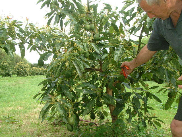 avopro avocado tree R J orchard