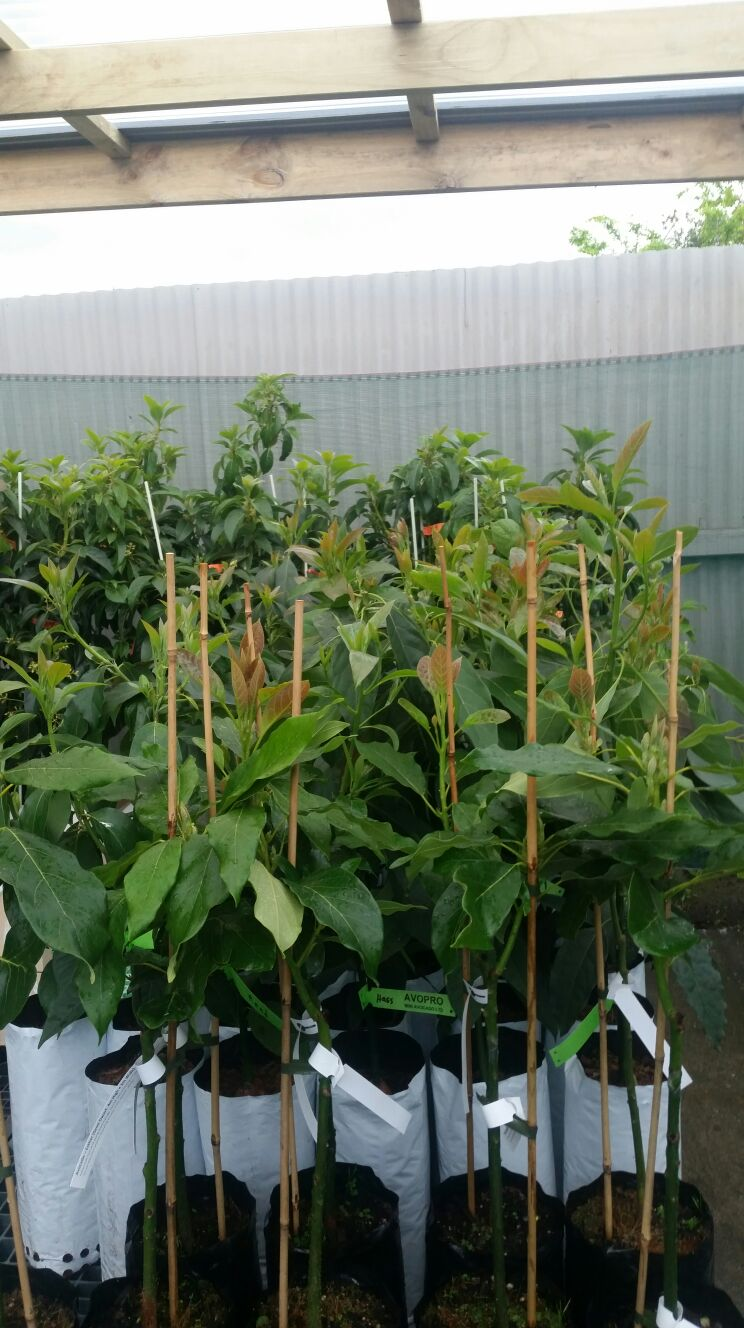 avopro new avocado nursery