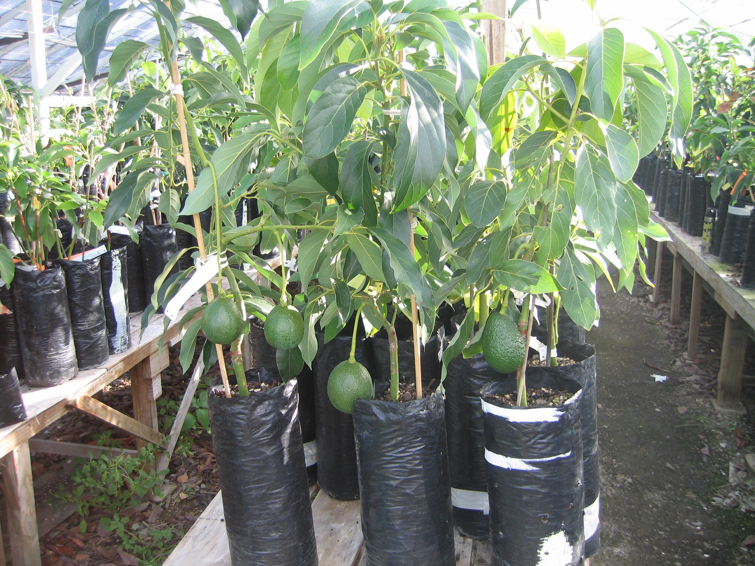 Mini Dwarf Avocado Trees