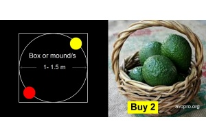 2-avocado-trees_planting-guide_avopro
