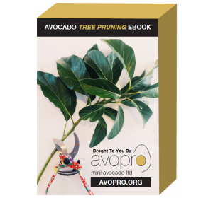 avopro-avocado-tree-pruning